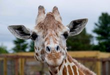 Photo of April, la girafe devenue une star en ligne, meurt Africa Texas Patch Statistics YouTube